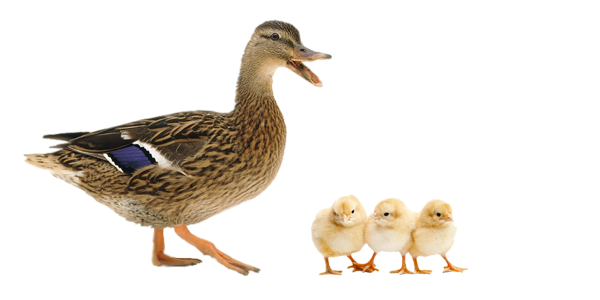 ducks-chicks